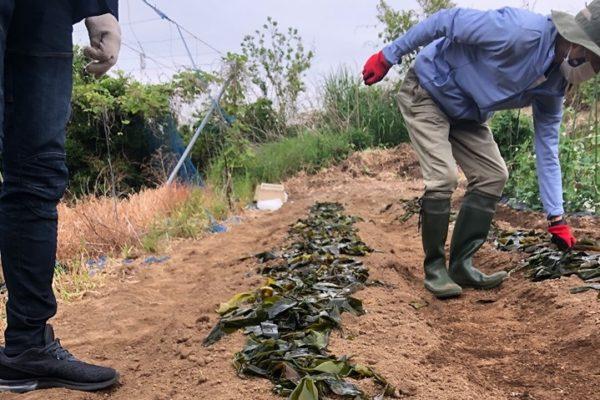 肥料となる海藻を畑の土に撒く様子