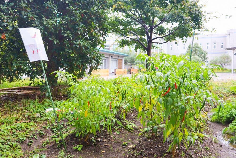 中庭で栽培している唐辛子