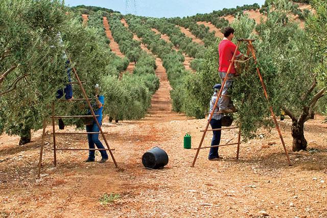 オリーブの収穫風景