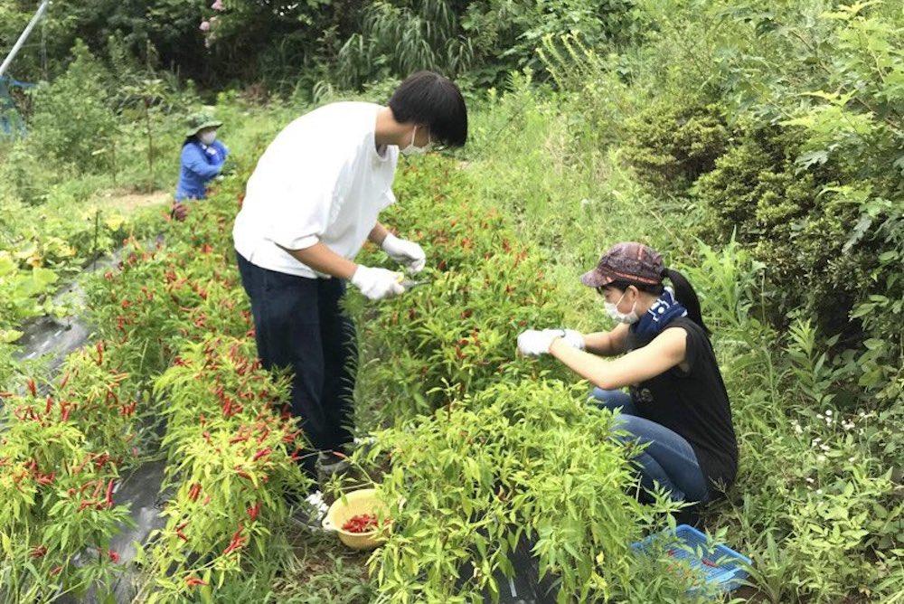 中田さんと村上さんが畑で唐辛子を収穫している様子